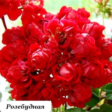 Герань Розебутная Сочи2