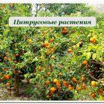 Цитрусовые растения купить в сочи