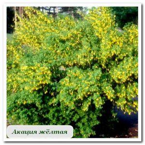 акация жёлтая Уличные растения Сочи