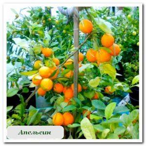 Цитрусовые апельсин растения купить в сочи