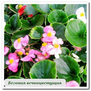 бегония Уличные растения Сочи