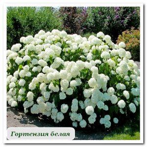 гортензия белая Уличные растения Сочи