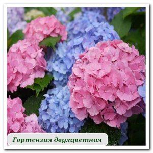 гортензия двухцветная Уличные растения Сочи