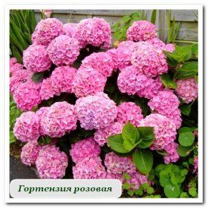 гортензия розовая Уличные растения Сочи