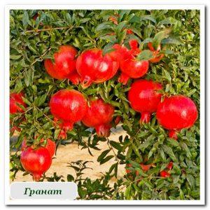 Гранат плодовые растения Сочи