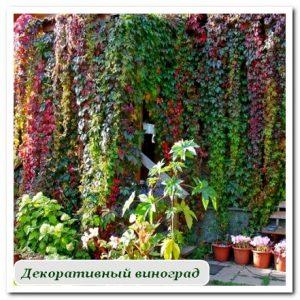дикий виноград Уличные растения Сочи