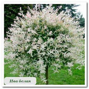 ива белая Уличные растения Сочи