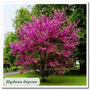 иудово дерево Уличные растения Сочи