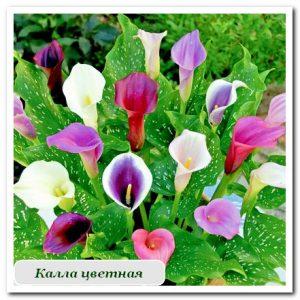 калла цветная уличные растения сочи