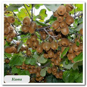 Киви плодовые растения Сочи