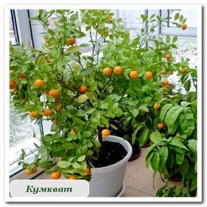 Цитрусовые кумкват растения купить в сочи