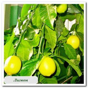Цитрусовые лимон растения купить в сочи