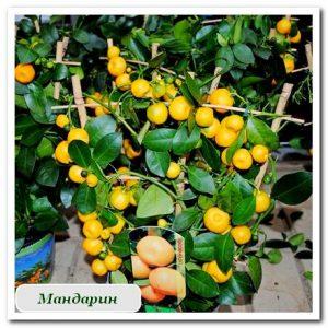 Цитрусовые мандарин растения купить в сочи