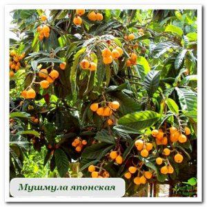 мушмула японская плодовые растения Сочи