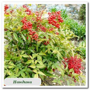нандина плодовые растения Сочи