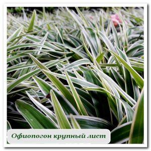 офиопогон уличные растения сочи