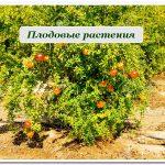 плодовые растения сочи
