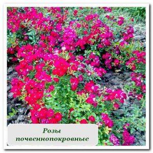 розы почвеннопокровные Уличные растения Сочи