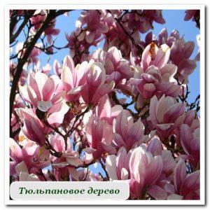 тюльпановое дерево Уличные растения Сочи