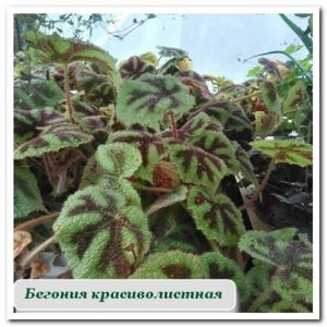 Комнатные растения бегония