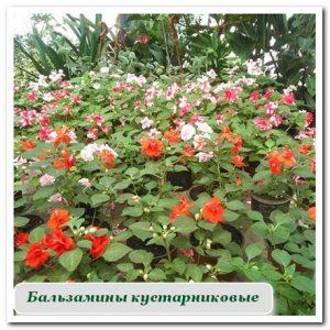 Комнатные растения бальзамины