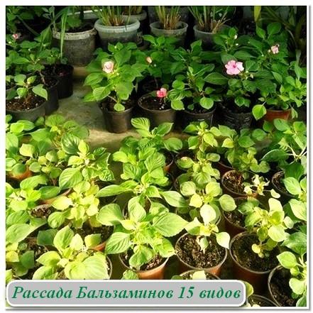 Комнатные растения Рассада Бальзамины